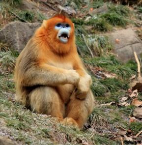 macaco dourado chinês